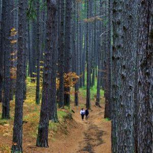 etna arbre pin