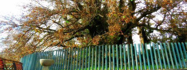 etna arbre chataigner